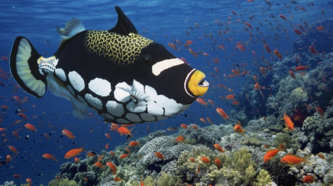 Clown Triggerfish!