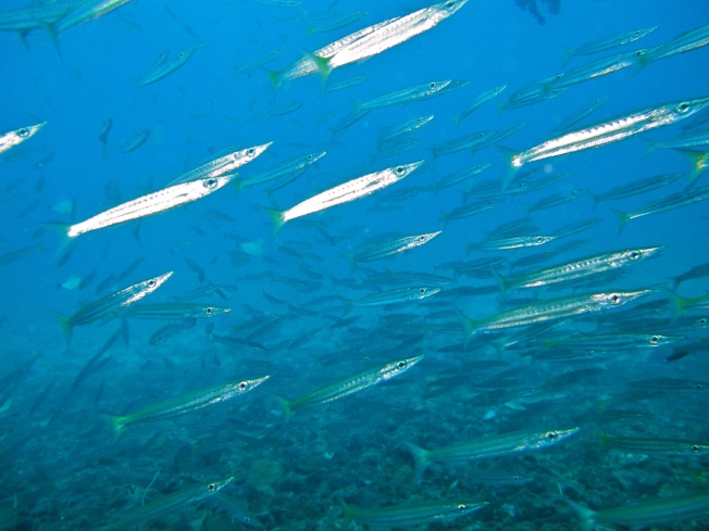 school of yellow tailed barracuda