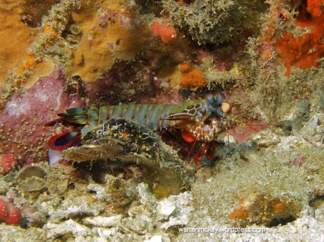 one of my favorites, peacock mantis shrimp. Isn't he funky?!