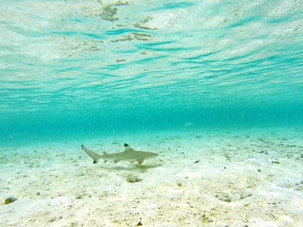 Baby shark patrols the North Lagoon